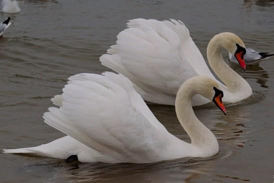swan-2719645_960_720-1.jpg