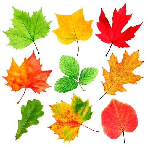 Рисунки и картинки листьев деревьев для детей - красивая ...