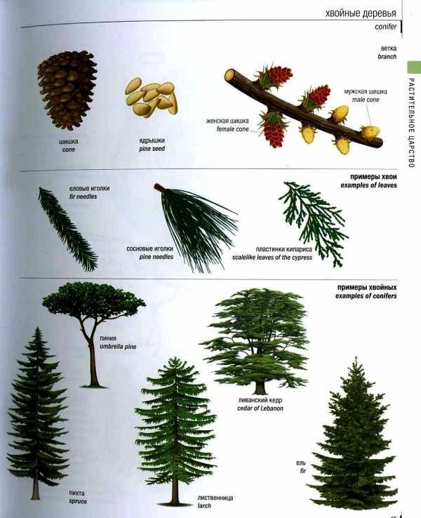Хвойные деревья картинки для детей