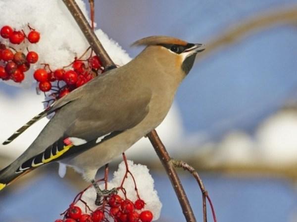 Лесные птицы Среднего Урала фото и название