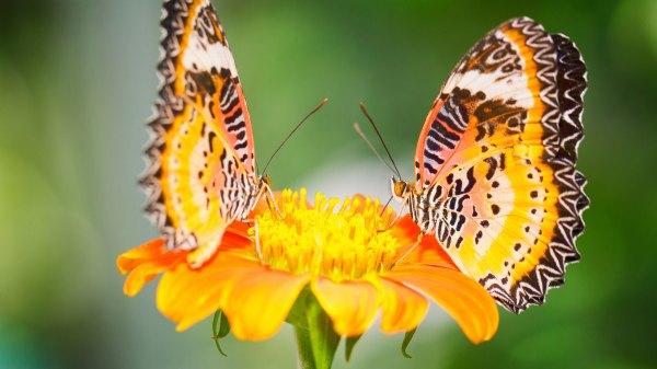 Скачать бесплатно обои бабочки на рабочий стол - подборка