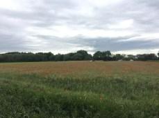 Mohnblumenfeld hinter Deetz an der Havel