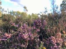 Heidekraut bzw. Erikakraut in der Fischbeker Heide