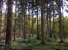 Wanderung durch die Hahnheide - uriger Mischwald