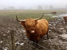 Ein zotteliges, aber zutrauliches Rindvieh - Schottisches Hochlandrind