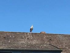 Ein Storch auf dem Dach