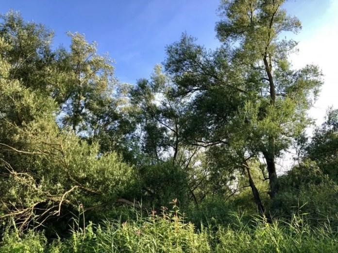 Dickicht im Naturschutzgebiet Heuckenlock in Hamburg