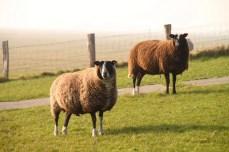 Schafe auf der Hallig Hooge