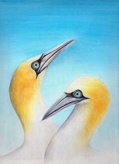 Gannet greeting card, 2013, watercolour