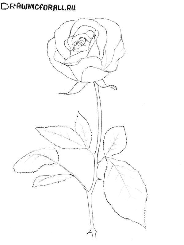 Как Нарисовать Розу Поэтапно Карандашом Фото