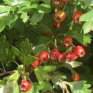 Foraging-Haw-Berries-at-Drawing-On-Nature