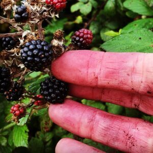 Foraging-blackberries-4-with-Drawing-On-Nature