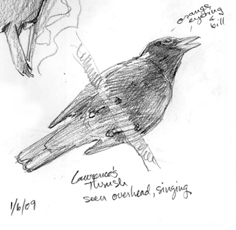 The talented Lawrence's Thrush, singing a symphony.