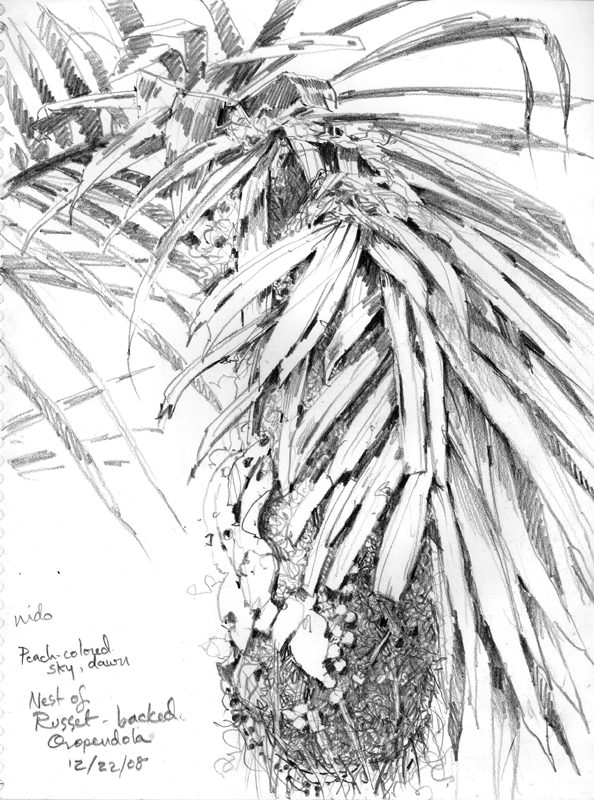 Russet-backed Oropendola nest, drawn through a field scope