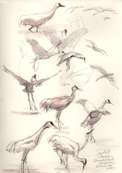 Drawn through the fieldscope: Sandhill cranes landing on the river; drinking; agressive posture at the bottom left.