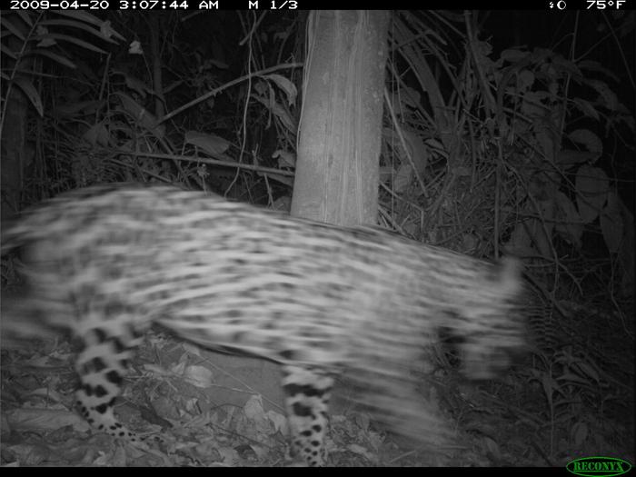 New cat on the island: a jaguar.