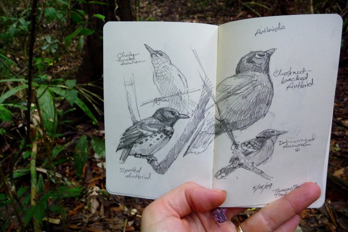 A festival of antbirds: checkerthroated antwren, spotted antbird, chestnut backed antbird and dot-winged antwren.