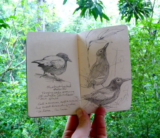 Chestnut-backed antbirds, sketched from the balcony of our room.