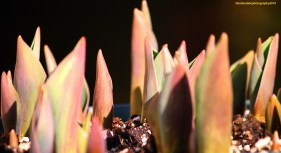new shoots tulips copyrighted