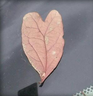 leaf heart