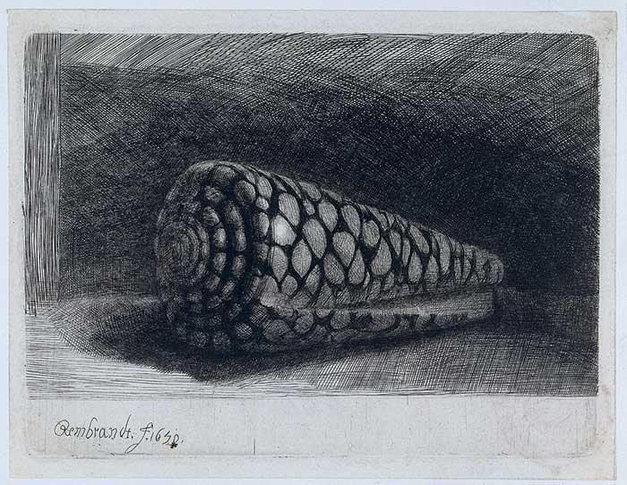 Rembrandt, The Shell 'Conus Marmoreus' 1650