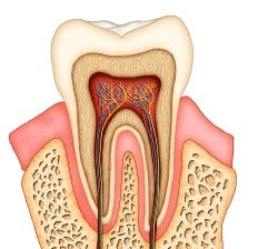 Dental anatomy Diagram Illustration