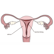 Uterine lining during period
