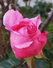 a single pink rose bud is standing in for the absent photo of Tess Ridgeway.