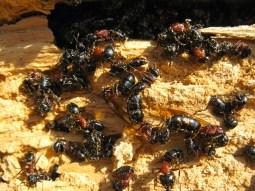 Carpenter Ants in Firewood
