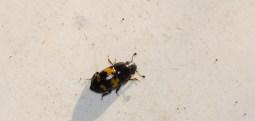 Sap Beetle (Beer Bug)