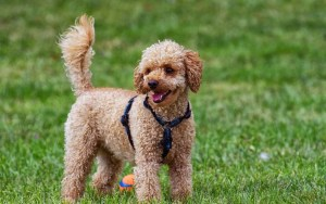 10 Home Remedies for a Healthy Pooch article by Dr Claire Stevens