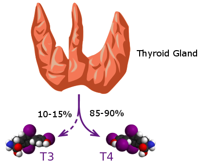 diagram showing T3 and T4 being secreted from the thyroid gland