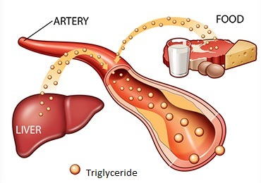 triglycerides from food and liver