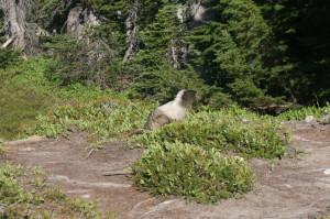Cascades marmot