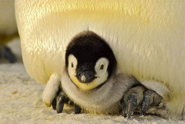 penguin-baby-antarctic-life-52512-large