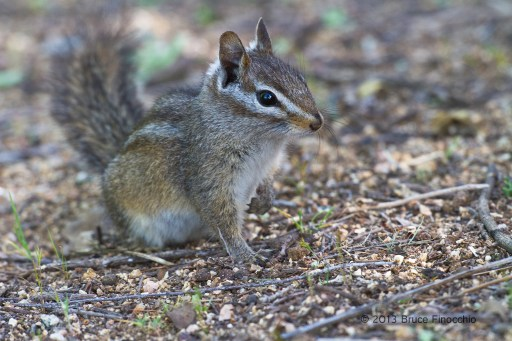 Merriam's Chipmunk On One Leg