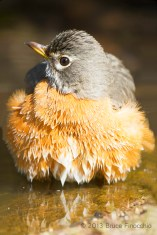 A Fuffed Up American Robin After Bathing