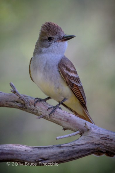 Ash-throated Flycatcher Poses On A Dead Chamise Branch