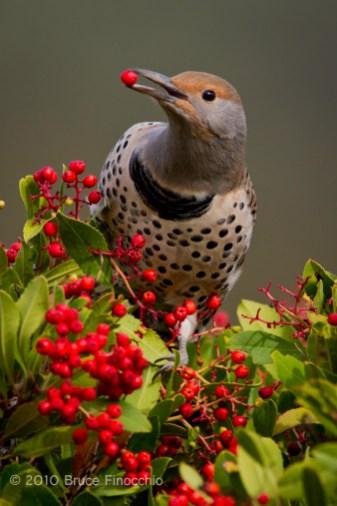 Female Flicker With Toyon Berry In Beak