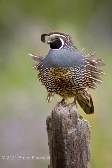 Male California Quail's Feathers Ruffle Out In The Wind