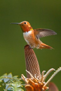 Male Allen's Hummingbird Spreads Wing On Bansia Blossom