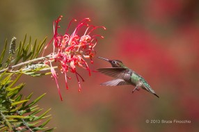 Male Anna's Hummingbird About To Pollinate Superb Gravelliea Blossom