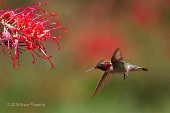 Male Anna's Hummingbird Flying into Superb Grevillea