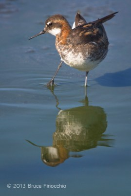 Male Red-necked Phalarope Twist Body As He Prepares to Preen