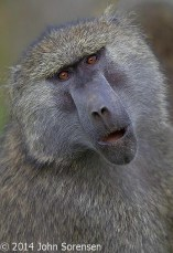 Male Baboon