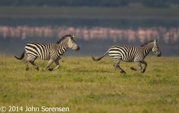 Burchell Zebra