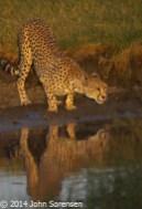 Cheetah And Reflection