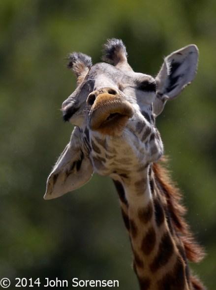 Giraffe Close-up