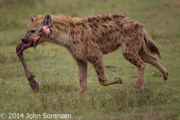 Spotted Hyena With Leg