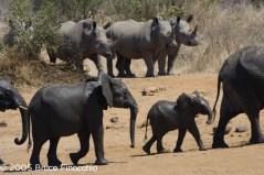 Elephant And Rhino Confrontation At The Jones Dam